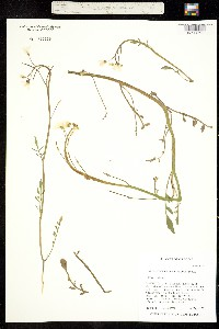 Image of Cardamine penduliflora