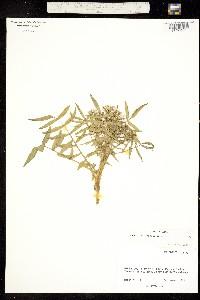 Image of Cardamine gambelii