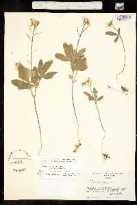 Image of Cardamine tenella