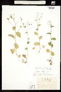 Image of Cardamine rotundifolia