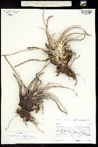 Hechtia montana image