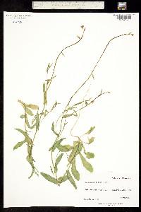 Image of Caulanthus cooperi