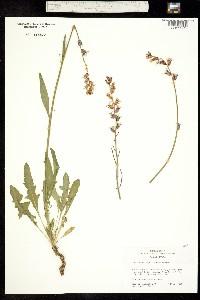 Image of Caulanthus major