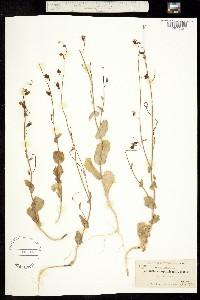 Image of Caulanthus amplexicaulis