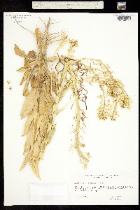 Image of Thelypodiopsis divaricata