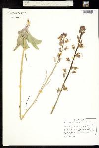Image of Caulanthus glaucus