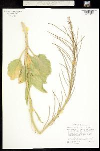 Image of Caulanthus barnebyi