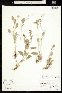 Image of Hesperidanthus jaegeri