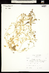 Image of Cochlearia groenlandica