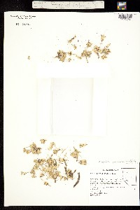Image of Cusickiella quadricostata