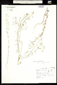 Descurainia longepedicellata image