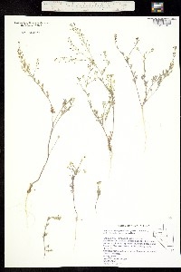 Image of Descurainia paradisa