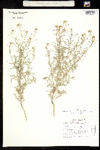 Descurainia pinnata subsp. glabra image