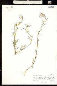 Image of Descurainia sophioides