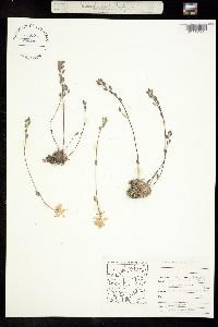 Draba arctogena image