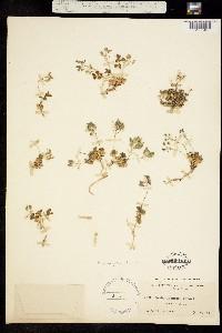 Image of Draba asterophora
