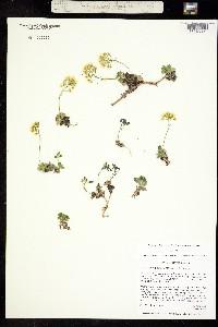 Draba asterophora image