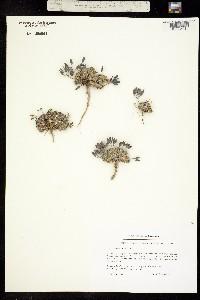 Image of Draba bellii