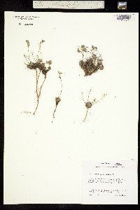Image of Draba groenlandica