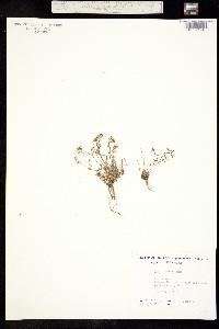 Image of Draba lactea