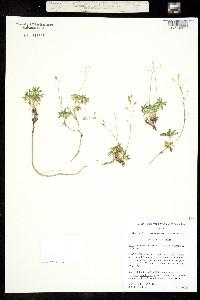 Image of Draba maguirei