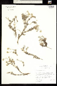 Image of Draba pennellii