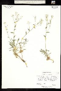 Image of Draba ramosissima