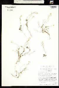Image of Draba sphaeroides