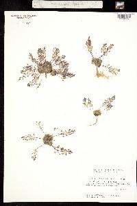 Draba subalpina image