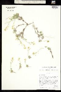 Image of Draba argyrea