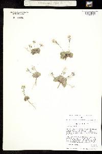 Image of Draba hitchcockii