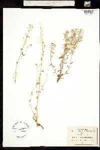 Image of Draba mexicana