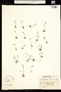Image of Draba paucifructa