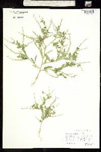 Euclidium syriacum image
