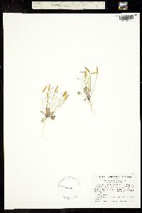 Image of Leavenworthia aurea