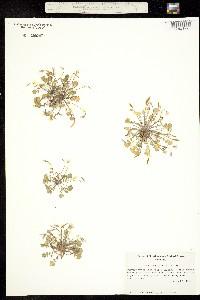 Image of Leavenworthia exigua