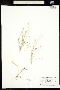 Image of Leavenworthia stylosa
