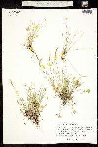 Image of Leavenworthia torulosa