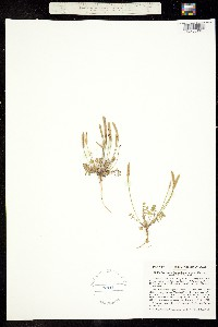 Image of Cardamine uniflora