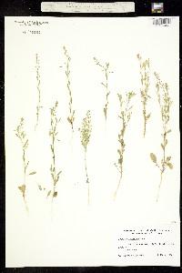 Image of Lepidium austrinum