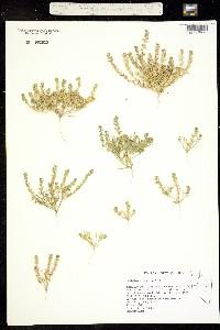 Image of Lepidium dictyotum