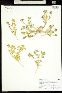 Image of Lepidium flavum
