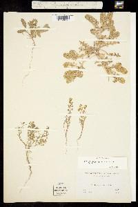 Image of Lepidium strictum