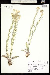 Image of Lepidium integrifolium