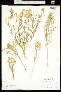 Image of Lepidium jaredii