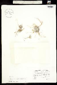 Physaria arctica image