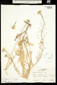Physaria gracilis image