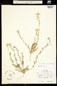 Paysonia grandiflora image