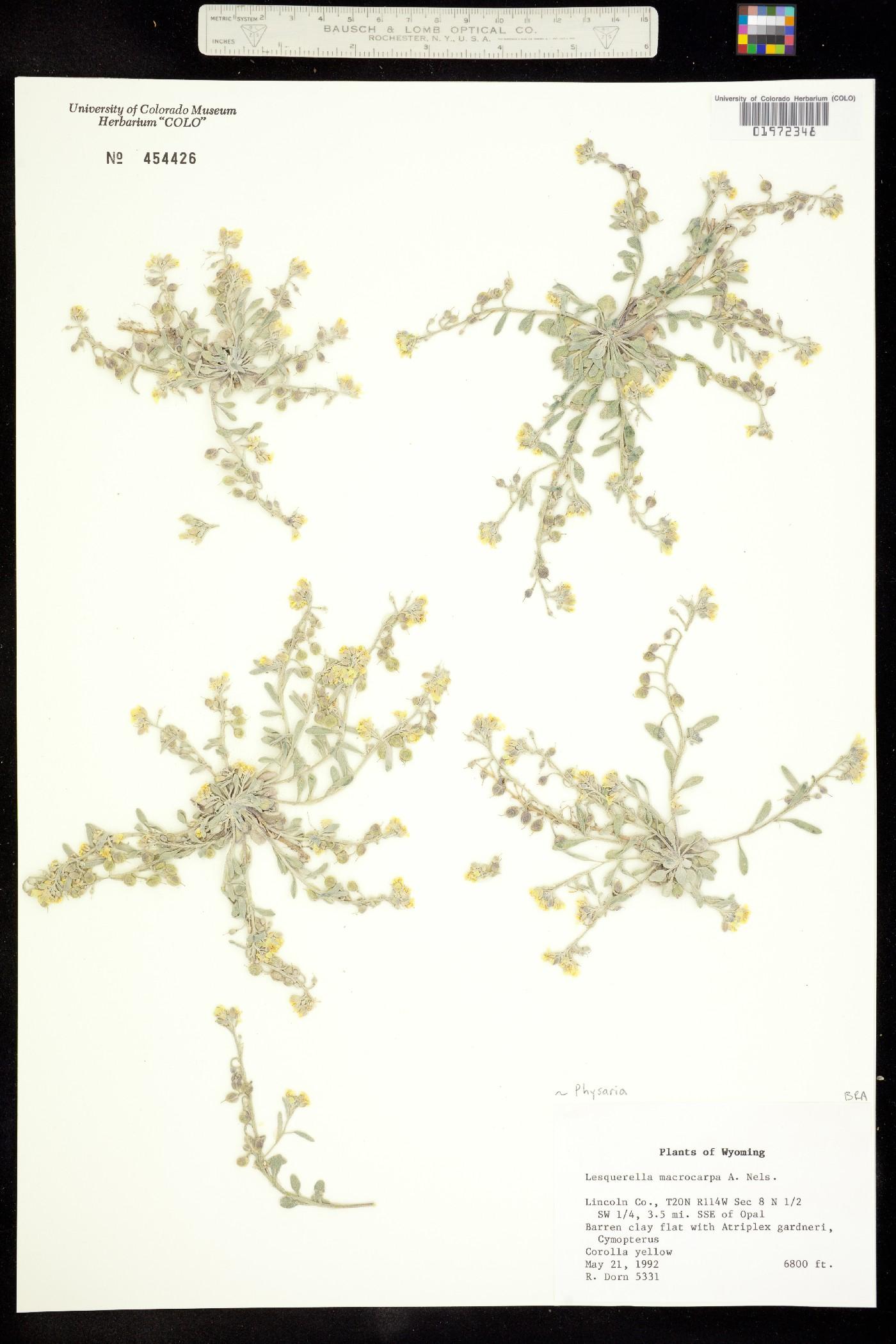 Physaria macrocarpa image