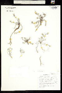 Physaria occidentalis image
